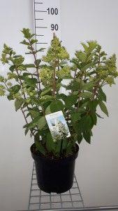 Hydrangea pan. Grandiflora C7.5