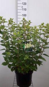Hydrangea pan. Limelight c7.5L